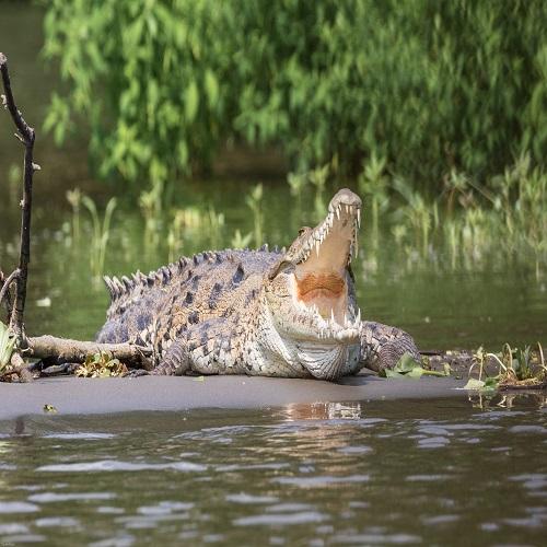 costa rica crocodile